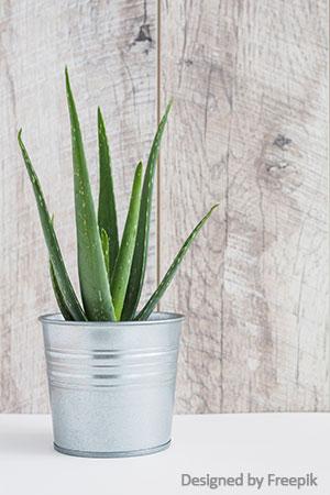 aloe vera pflanze wirkung