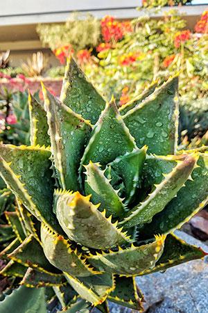Die Aloe Vera Barbadensis Miller