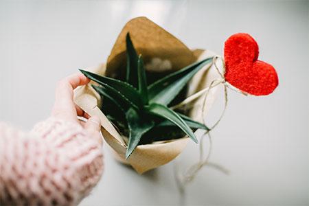 Aloe Vera Baby-Pflanze